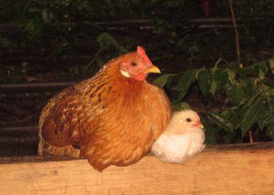 Engagement d'Auchan pour les poules
