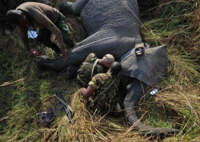 Les derniers éléphants d'Afrique centrale se meurent et les chinois ont pris le contôle des routes de l'ivoire