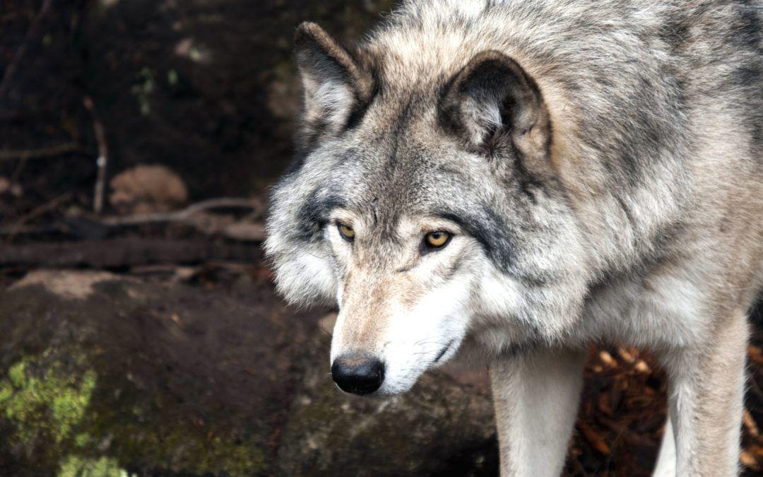 Victoire juridique pour les loups de la Savoie !