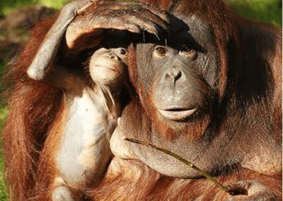 L'orang-outan (Pongo)