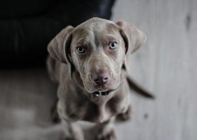 Les chiens adaptent leurs expressions faciales à la présence d'un observateur