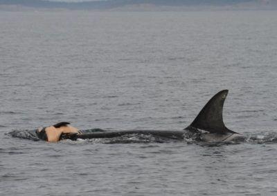 « Comme nous, les baleines pleurent la mort de leurs proches »