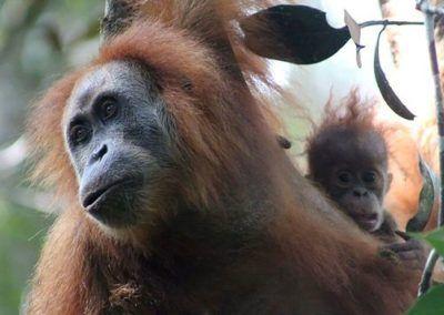 Découverte d'une nouvelle espèce d'orang-outan en Indonésie !