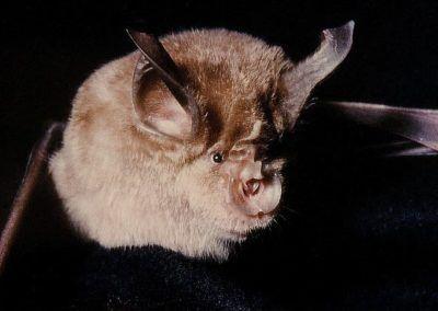 Les chauves-souris d'Île-de-France menacées d'extinction
