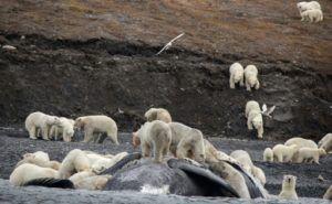 Inquiétant rassemblement d'ours polaires en Sibérie