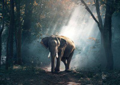 Les éléphants se meurent en Birmanie