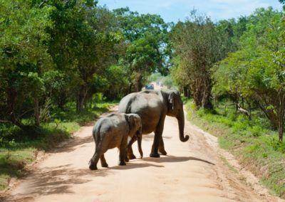«Des 'congés maternité' pour sauver l'éléphant du Laos»