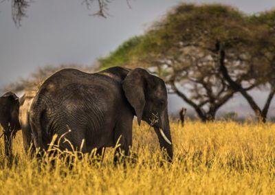 Les États-Unis autorisent de nouveau l'importation de trophées d'éléphants