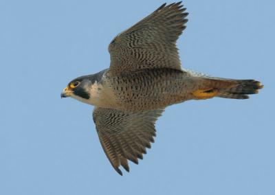 Le faucon pèlerin ne serait plus menacé d'extinction au Canada !