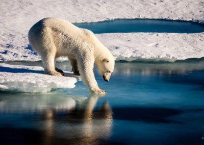 L'ours blanc (Ursus maritimus)