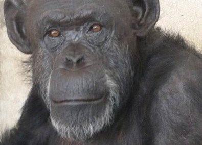 Cécilia, le premier chimpanzé reconnu personne non humaine dotée de droits fondamentaux