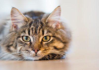 Le chat (Felis silvestris catus)