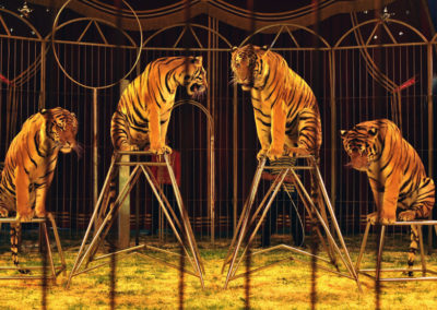 L'Angleterre bannit les cirques itinérants avec animaux sauvages à partir de 2020 !