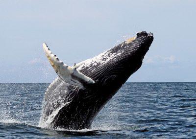 «Le Canada limite la pêche au crabe pour sauver les baleines noires»