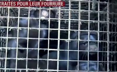 L214 dénonce l'horreur des élevages de visons pour la fourrure