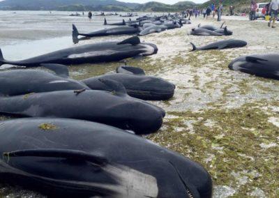 Échouage de 26 baleines-pilotes au Cap Vert