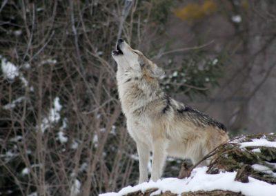 Le loup gris (Canis lupus)