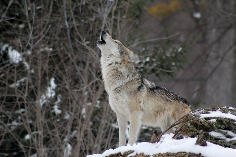 Le Loup Gris Canis Lupus Ensemble Pour Les Animaux