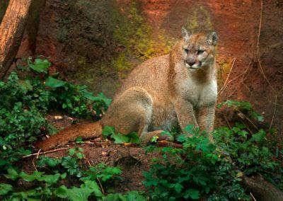 La sous-espèce des pumas concolors cougars a officiellement disparu …