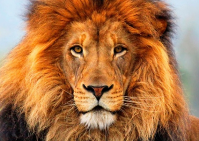 Le lion (Panthera leo)