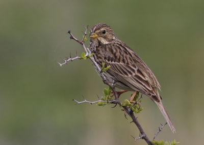 L'alarmante disparition des oiseaux des campagnes françaises