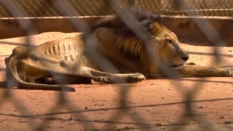 Pénuries alimentaires au Venezuela : les animaux des zoos meurent de faim et sont tués pour être mangés