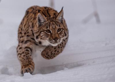 «Le lynx boréal : félin rare et méconnu de nos forêts»
