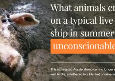 Australie : l'intolérable cruauté des transports d'animaux vivants
