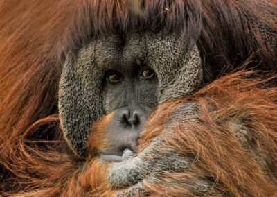 Produire une huile de palme plus responsable pour sauver l'orang-outan
