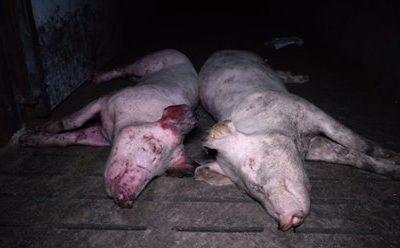L214 porte plainte et demande la fermeture d'un élevage de porc dans le Tarn