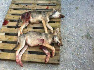 Tirs de loups illégaux dans l'Isère : l'ASPAS, Ferus et One Voice obtiennent raison