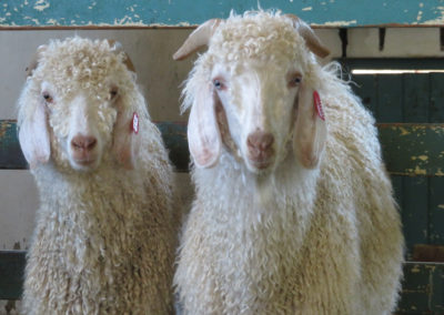 Peta révèle la maltraitance animale de l'industrie du mohair