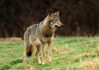 Danemark : une des seules louves du pays a été abattue
