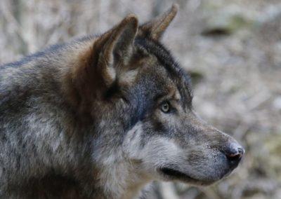 Le conseil d'État réaffirme que le loup est une espèce protégée
