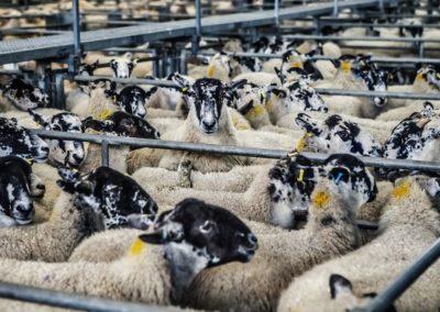 La Wallonie interdit l'abattage des animaux sans étourdissement préalable