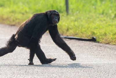 I RUN FOR CHIMPS