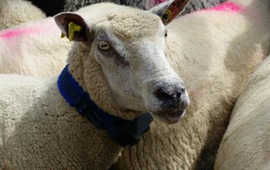 Aveyron : des colliers à ultrasons pour protéger les troupeaux