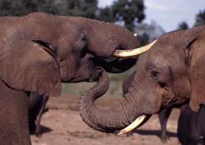 Pourquoi détruire l'ivoire pour protéger les éléphants sauvages ?