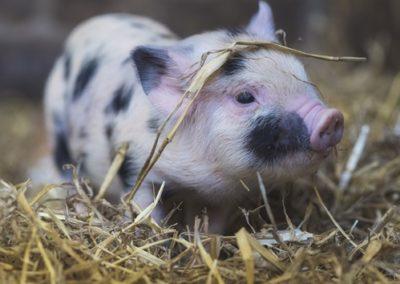 Le porc (Sus scrofa domesticus)