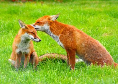 « Épidémie de Lyme : chasser le renard nous fait perdre un allié précieux contre cette maladie infectieuse »