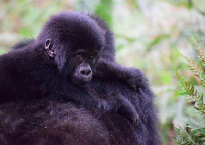 Les gorilles des montagnes voient enfin leur population augmenter et dépassent les 1000 individus !