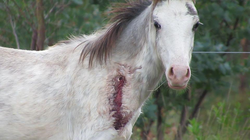 Welfarm dévoile la suite de l'enquête vidéo sur l'horreur des fermes à sang de juments