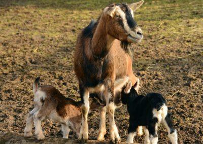 La chèvre (Capra aegagrus hircus)