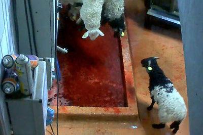 « Procès de Mauléon : la souffrance animale entendue »