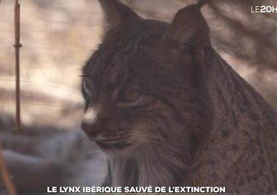 Le lynx ibérique sauvé de l'extinction