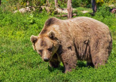 Pyrénées béarnaises : la réintroduction d'ourses aura bien lieu
