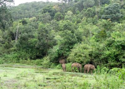 L'éléphant d'Asie (Elephas maximus)