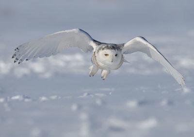 Le Harfang des neiges (Bubo scandiacus)