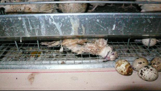 "Des œufs de caille 100% ""made in cage"""