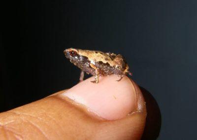 De nouvelles espèces de grenouilles découvertes à Madagascar